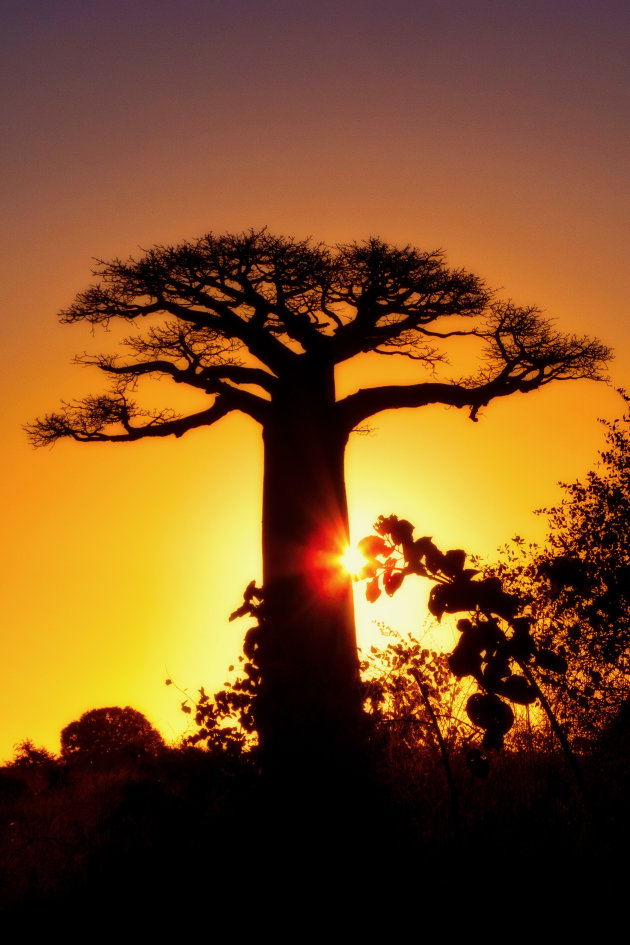 Gouden Baobab uurtje