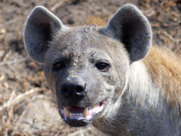 de lachende hyena