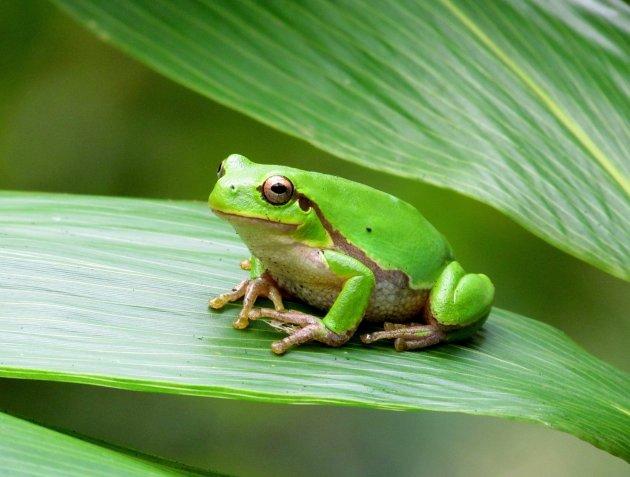 groen kikkertje