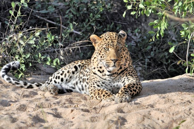 The King of Londolozi