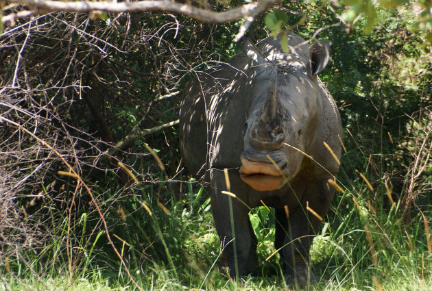 Witte neushoorn in ZIWA Sanctuary