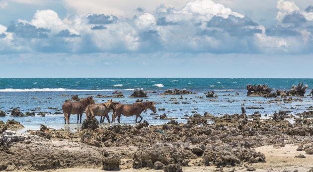 Wilde paarden tussen koraal