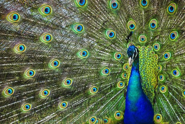 Peacock at Porthkerris