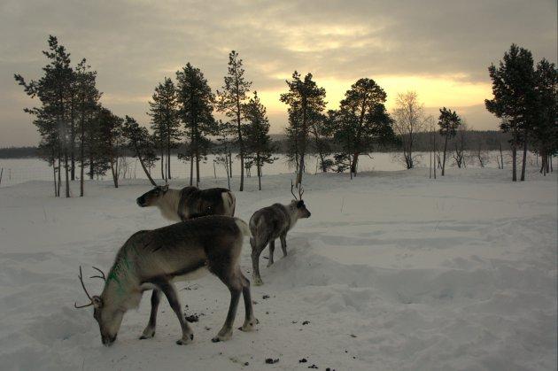 Rendierfarm in Nellim Lapland