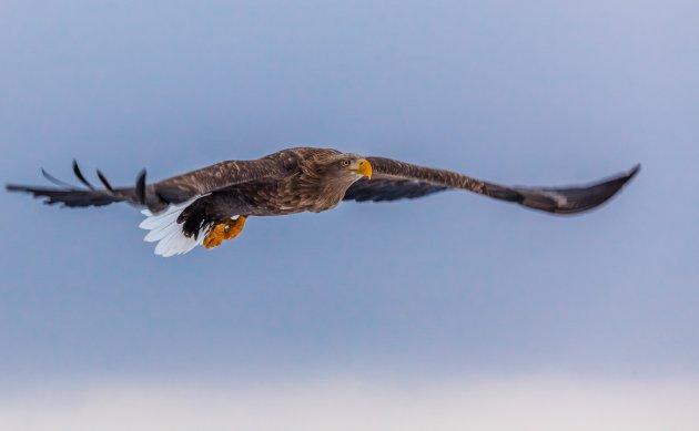 'Fish-tailed eagle' zweeft boven de zee