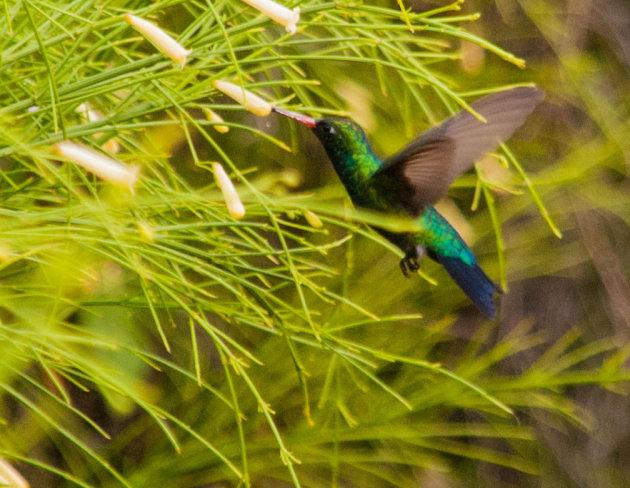 Mini kolibrie
