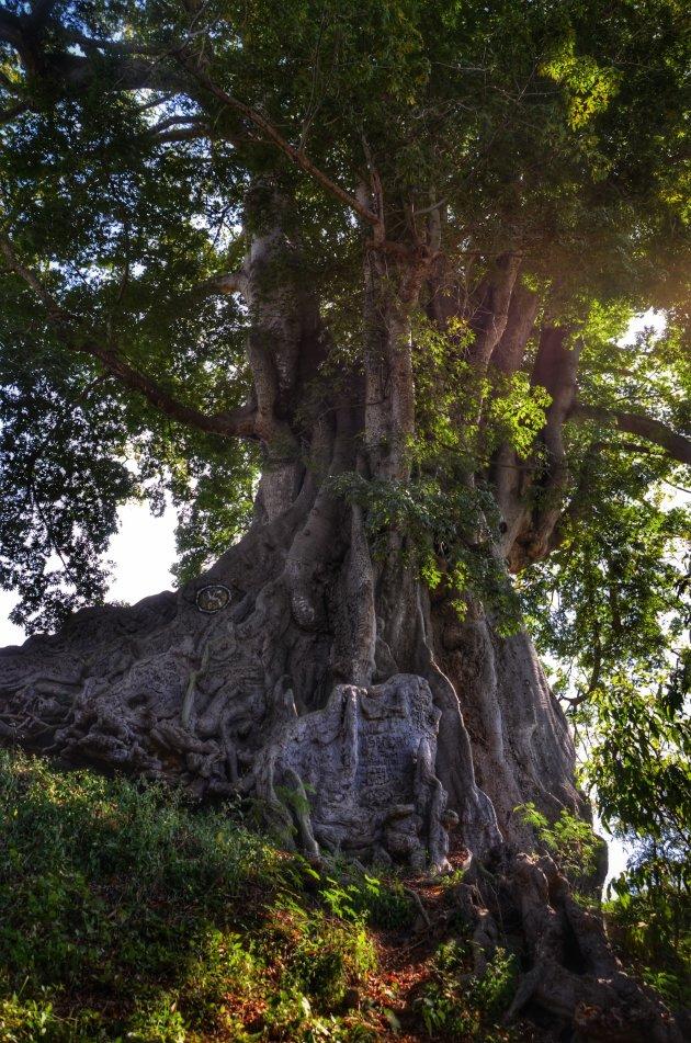 40 mtr hoge kapokboom
