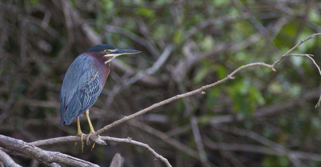 Mangrove Reiger bij Caño Negro