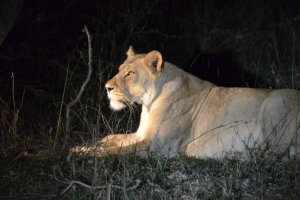 Lion @night