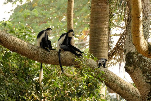 Zwart witte franje apen