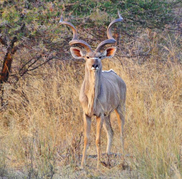 Statige kudu