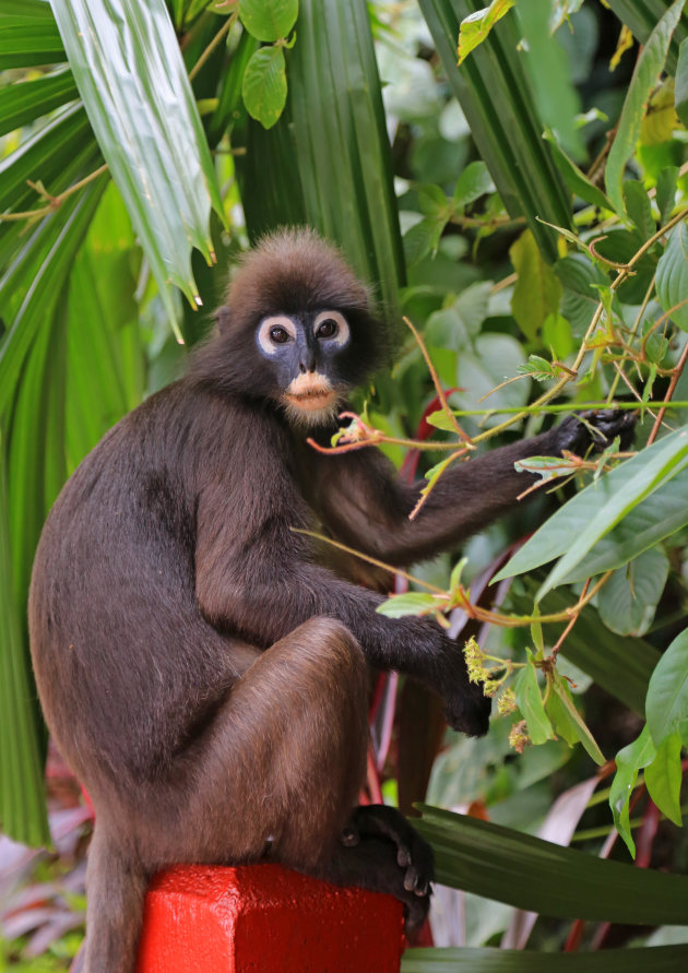 Dusky Leaf Monkey c.q. brillangoer