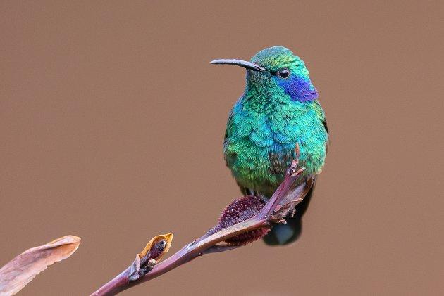 Groene violetoorkolibrie