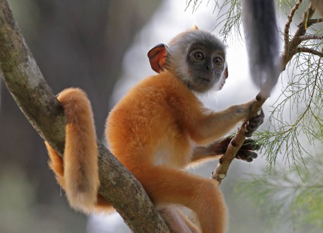 Silvered leaf monkey (baby)