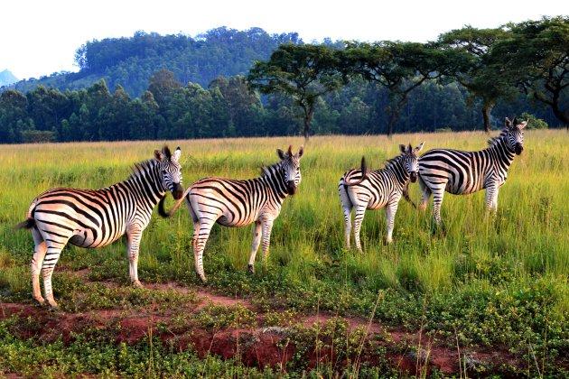 Rijtje zebra's
