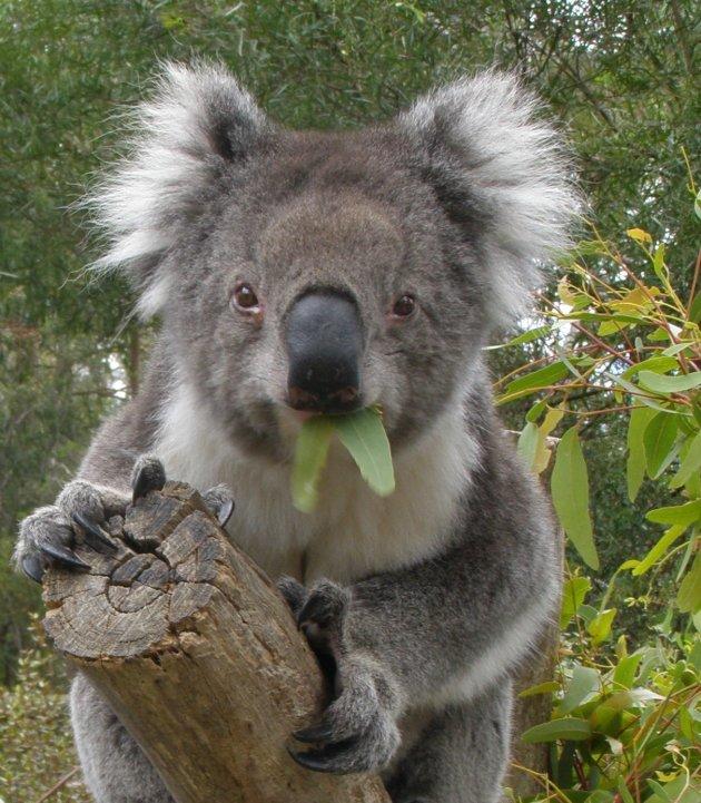 koala met blaadje.....