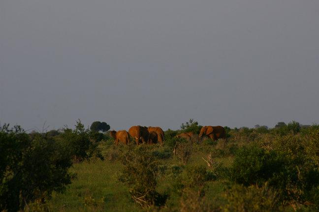 Rode Olifanten in Tsavo West