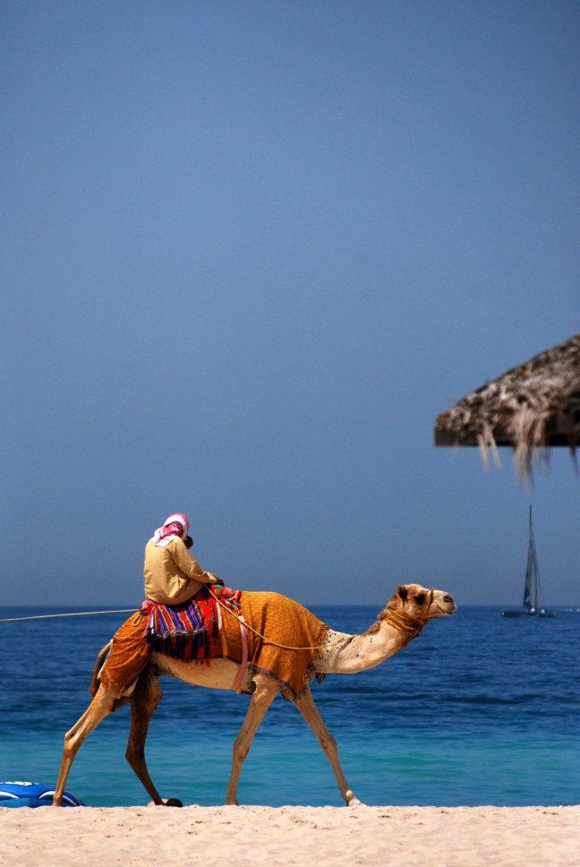 Arabian camel tourist attraction on Dubai beach