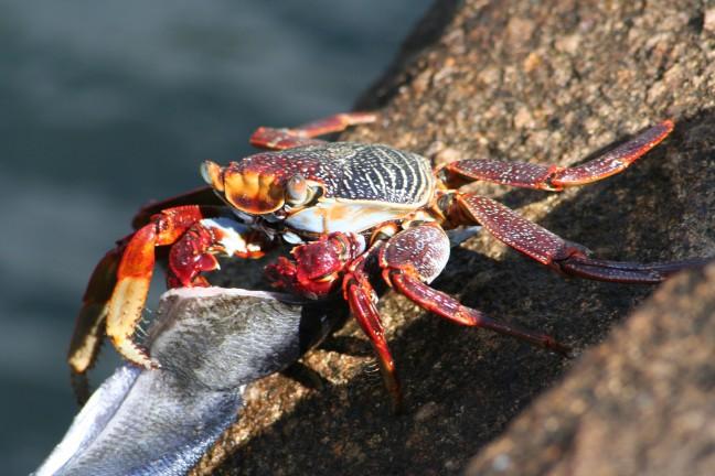 Krabbetje met stukje vis