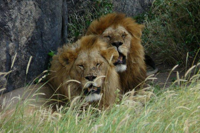 leeuwen bij de leeuwenkopjes