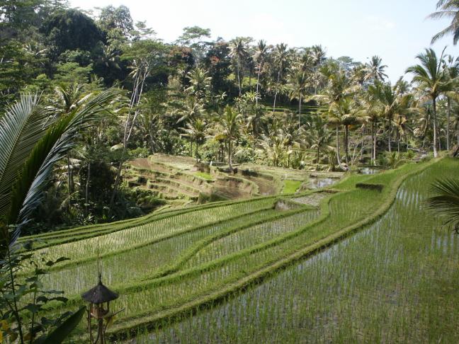 prachtige rijstvelden