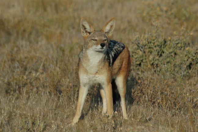 jakhals in de Kalahari