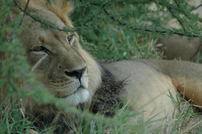 Kalahari leeuw!