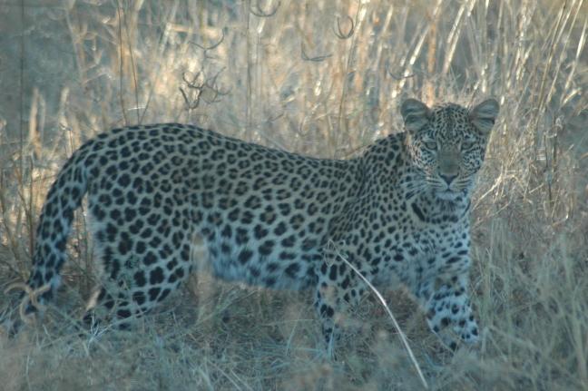 nieuwsgierig luipaard