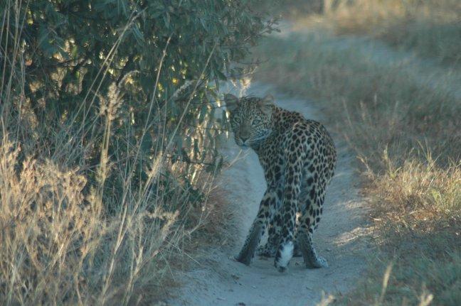 nieuwsgierig luipaard, de 2e