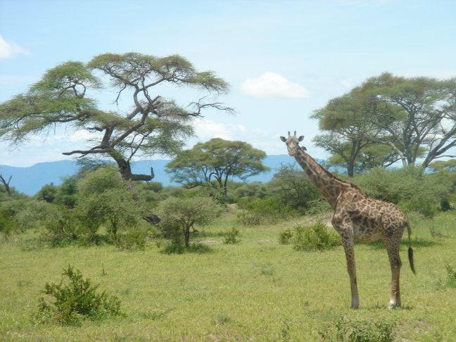 hallo giraffe !