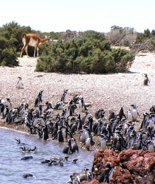 veel pinguins