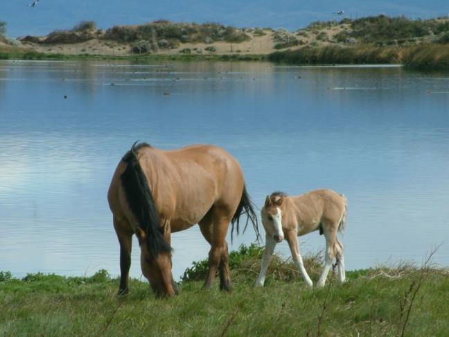 Argentijnse paard