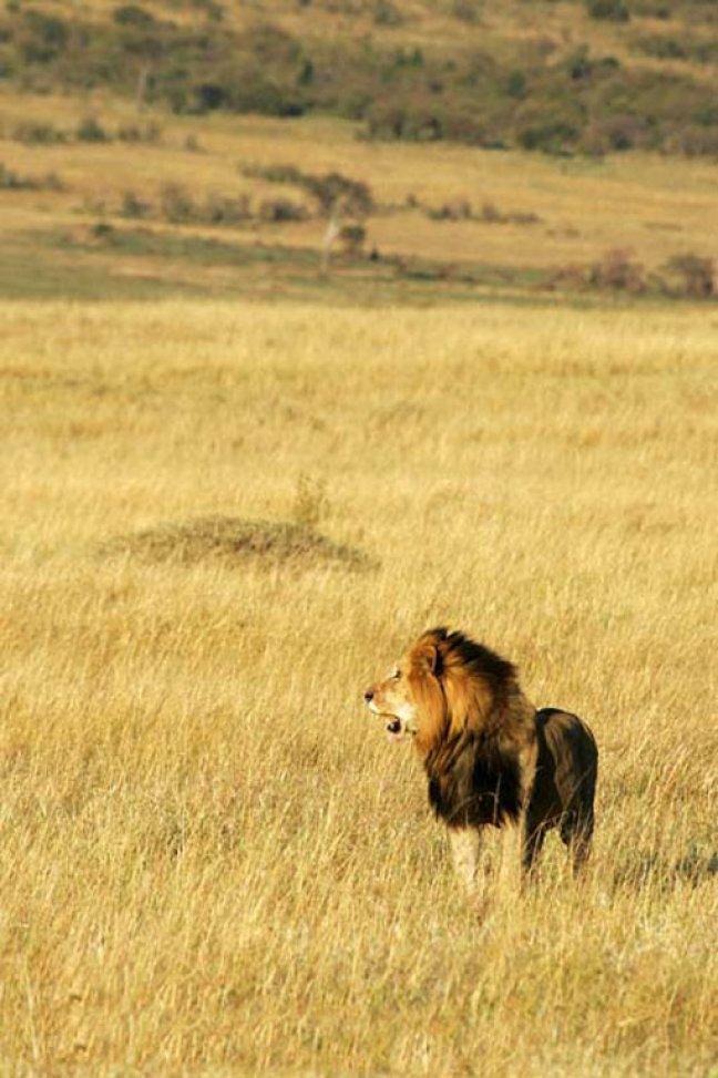 Leeuw op jacht