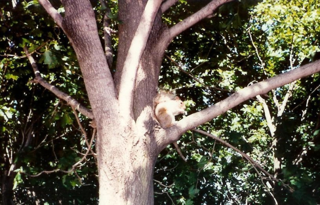 1990 Montreal, Mont Royal: eekhoorn.