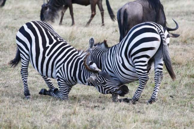 haantjes gedrag bij zebra's 3