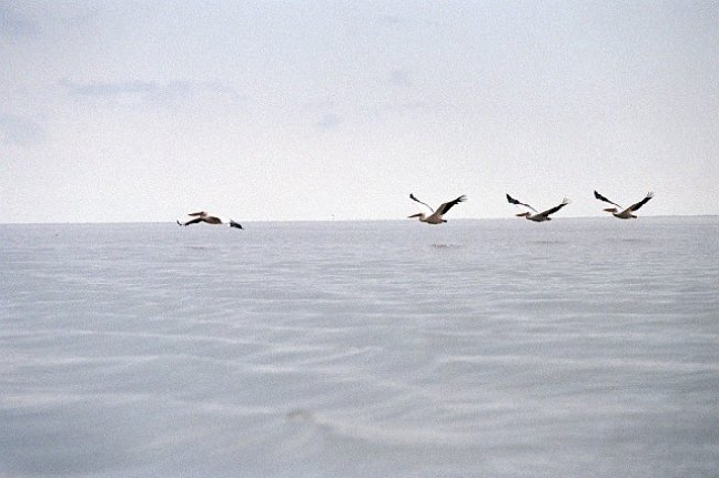 Gaan met die pelikaan