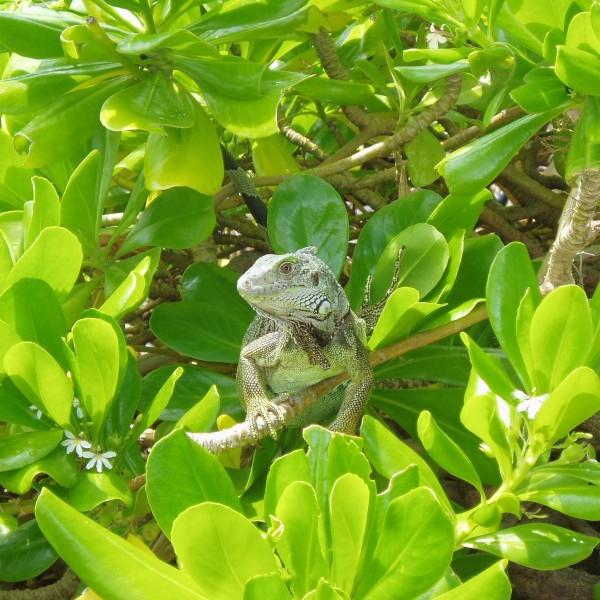 '68691' door iguana