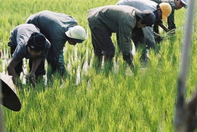 werken op de rijstvelden