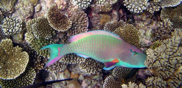 Een kleurrijke papegaaivis