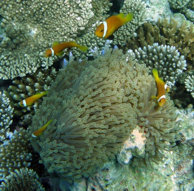 Maledivische anemoonvisjes