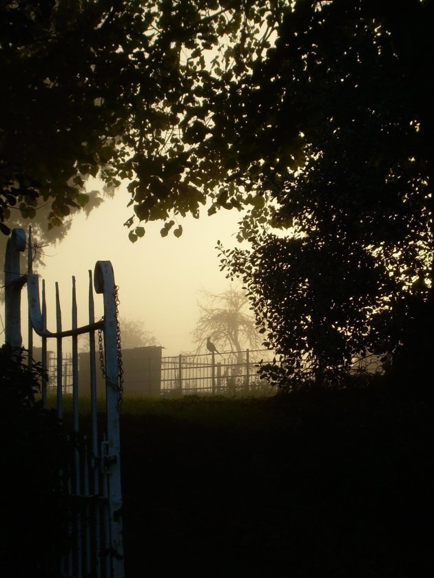 Fazant in een mistige zonsopgang