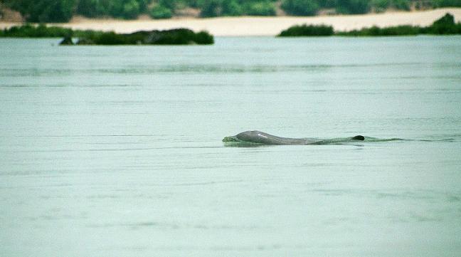 Irriwady dolfijn