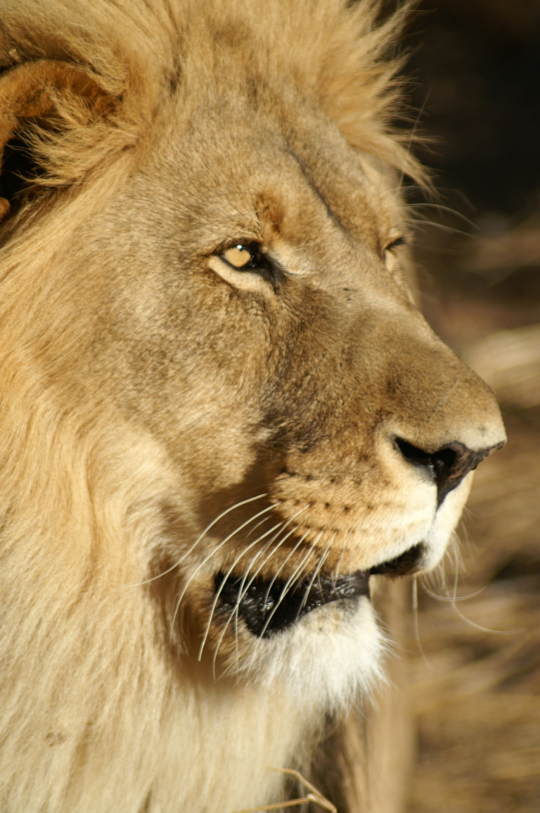 Leeuw en profiel....
