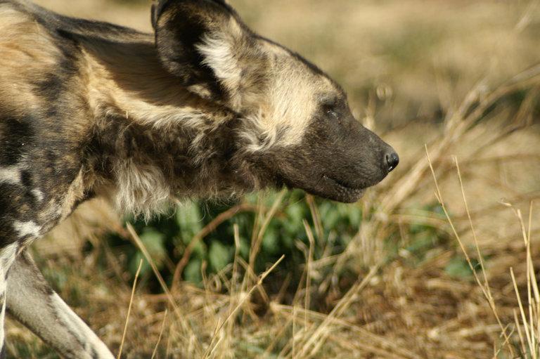 Ook lelijkheid kan mooi zijn, zoals deze wilde hond laat zien...