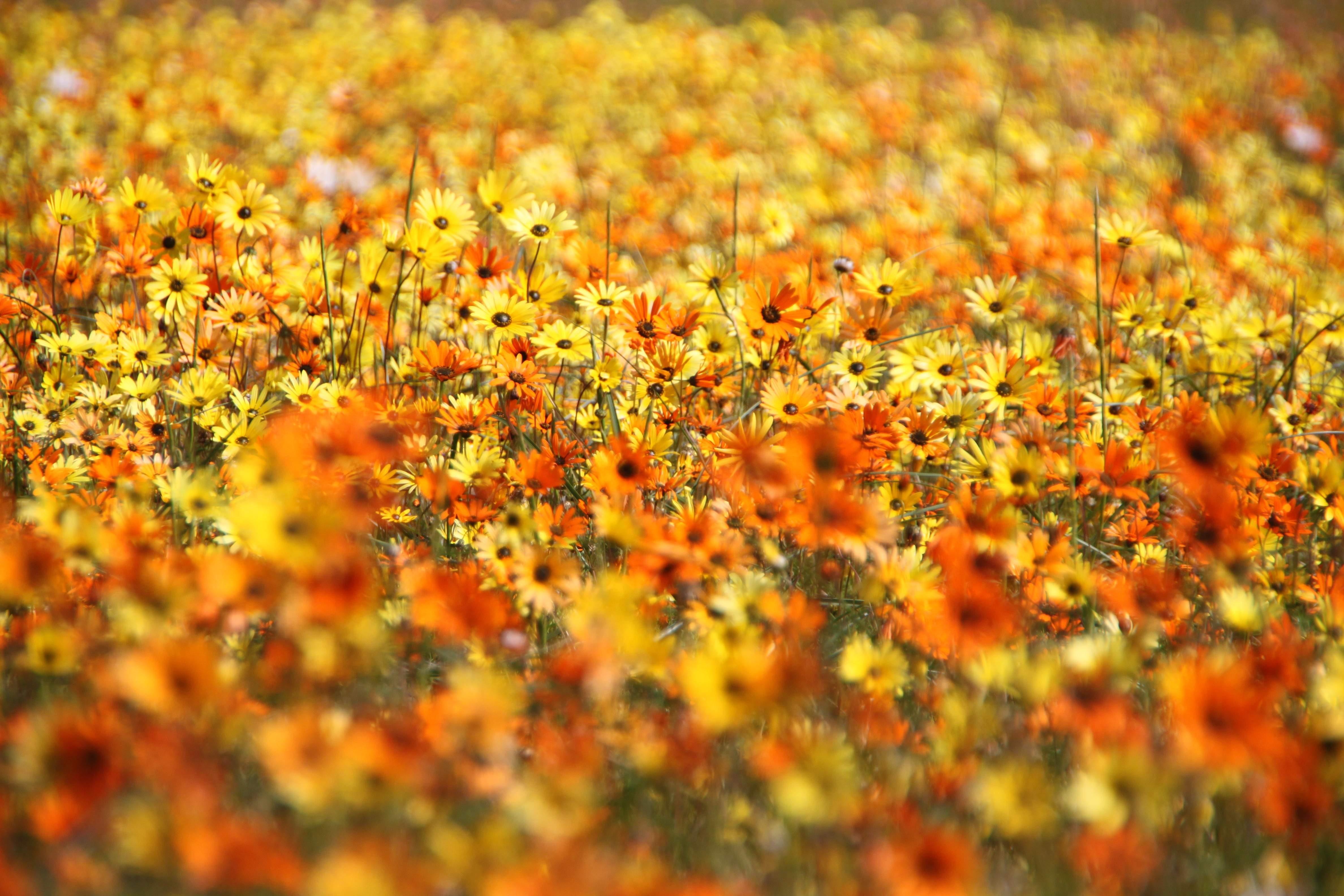 flowers in Budow