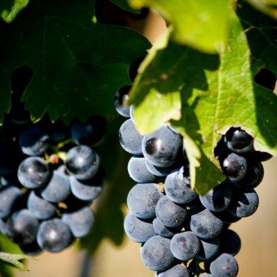 Voorvertoning Druiven