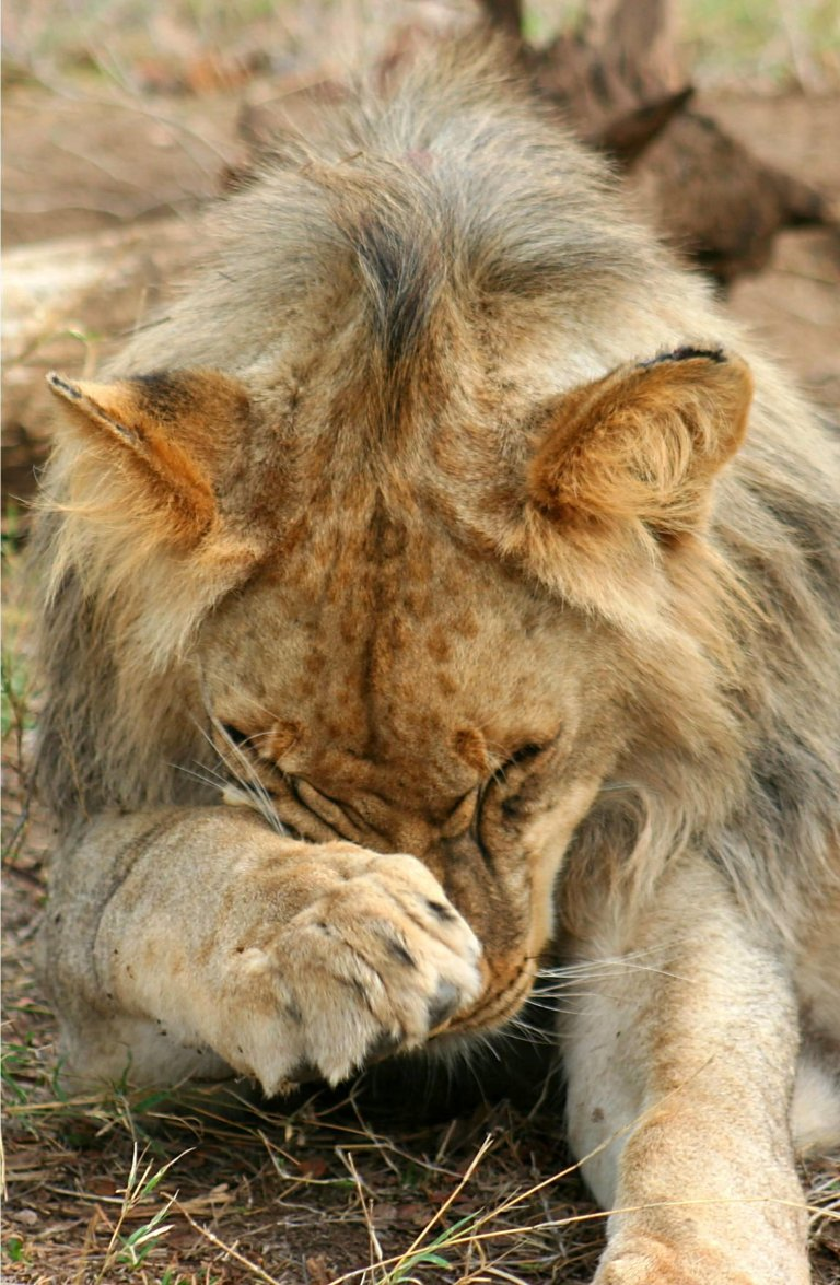 Hoofdfoto bij reisverhaal 'walking with lions'