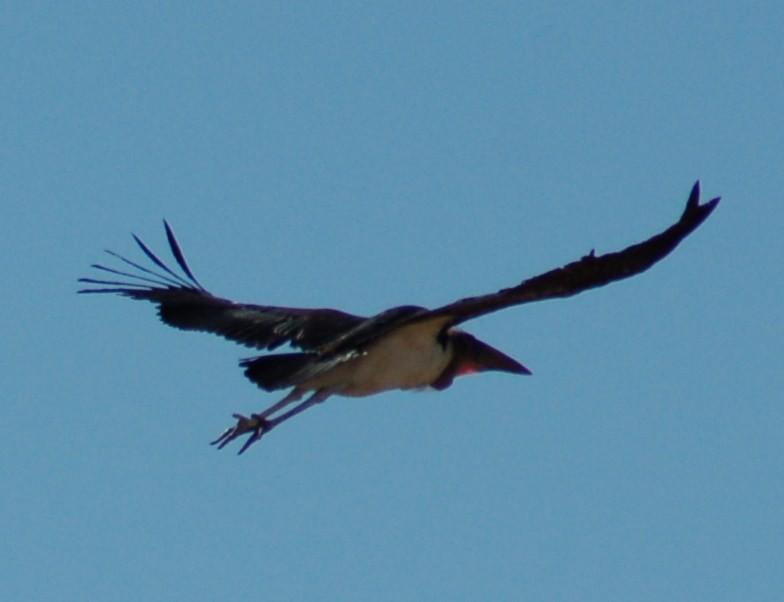 Wegvliegende maraboe, wat een grote vogel!