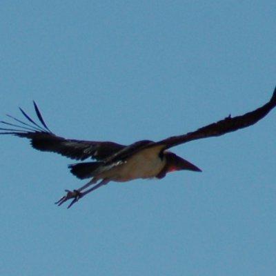 Voorvertoning Wegvliegende maraboe, wat een grote vogel!
