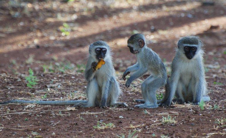 Ondeugende aapjes